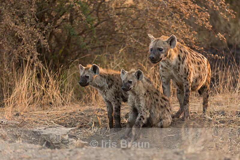 Predators - Hyena