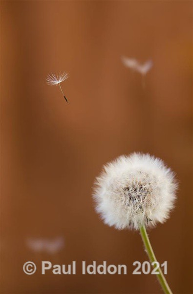 Dandelion Floats.... - Macro