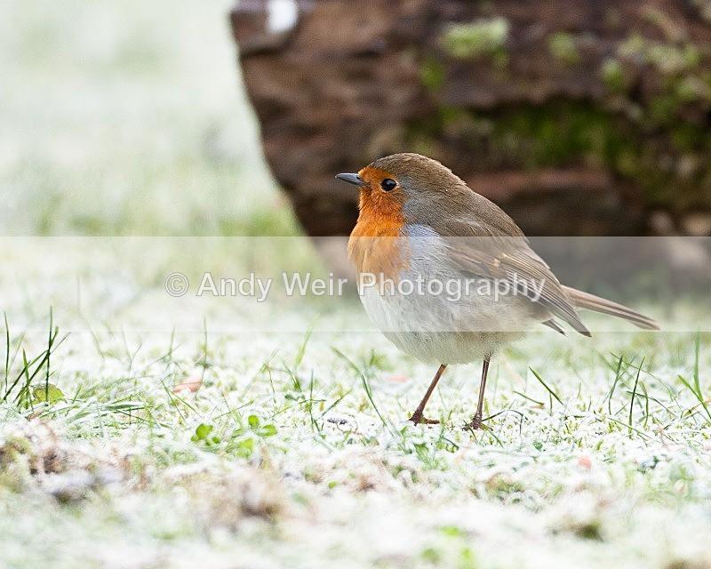 20090110-012 - Robin