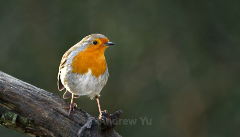 Robin - Wildlife and Nature Photography