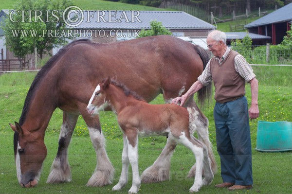 ryecroft-14 - Clydesdales 2013 Include Foals