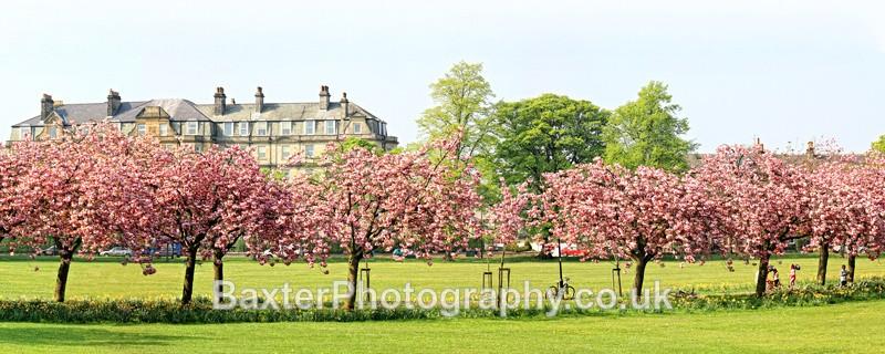 Cherry-Blossom Walk (Panoramic 2.5x1 Version) - Harrogate Town