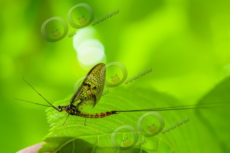 mayfly-5374 - Insects from around the world
