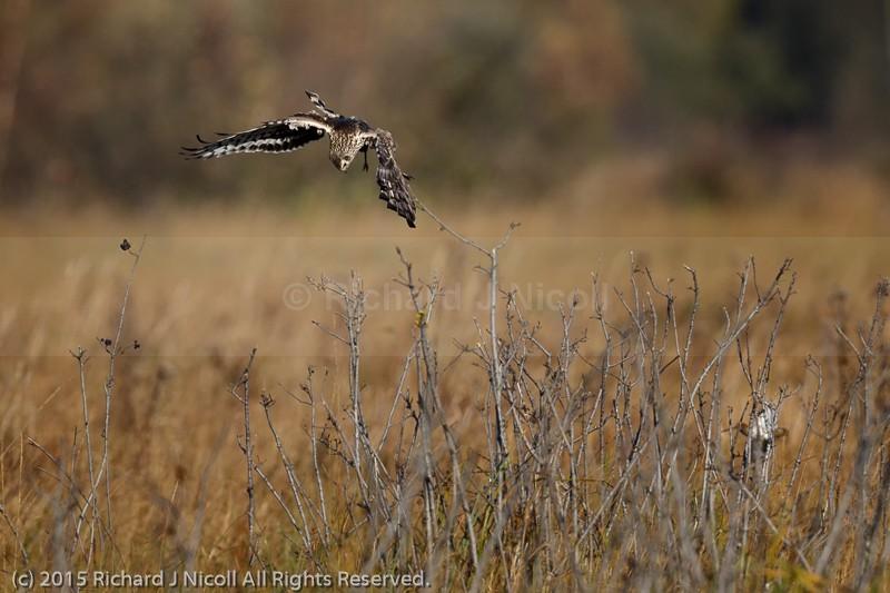 Hen Harrier (Circus cyaneus) hunting Snipe (Gallinago gallinago) - Hen Harrier (Circus cyaneus)