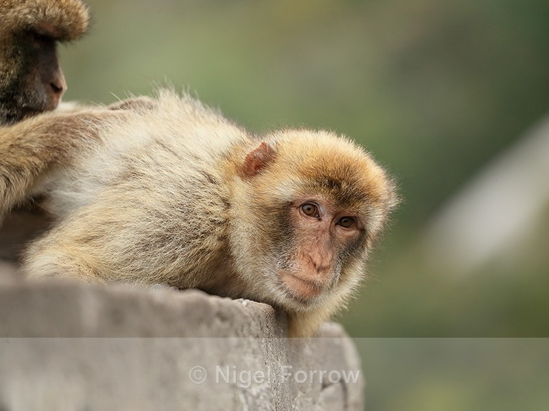 Barbary Macaque being groomed, Gibraltar - Monkey