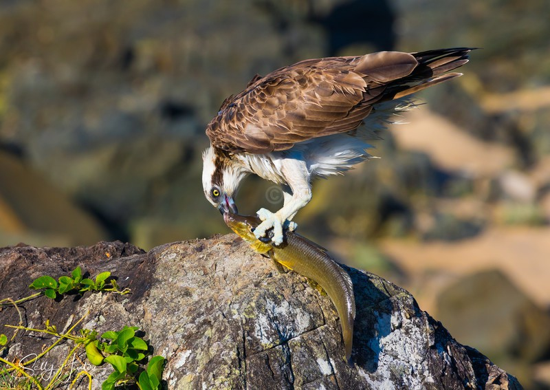 Osprey with Whiting 2 - Osprey (For Sale)