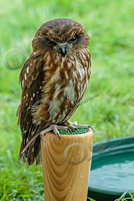 boobook owl Ninox boobook-7271 - Our Birds