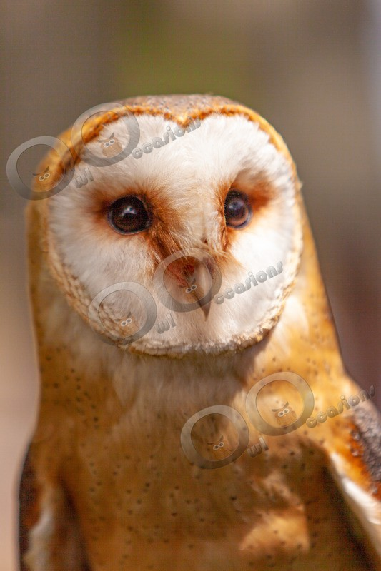 European Barn owl tyto alba gulgutta-9525 - Owls of the World