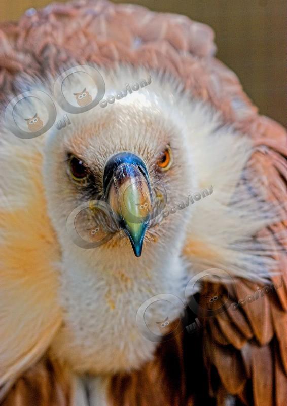 griffon vulture Gyps fulvus-53 - BoP from around the world