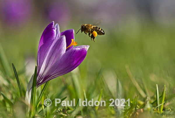 Crocus & The Honey Bee - Macro