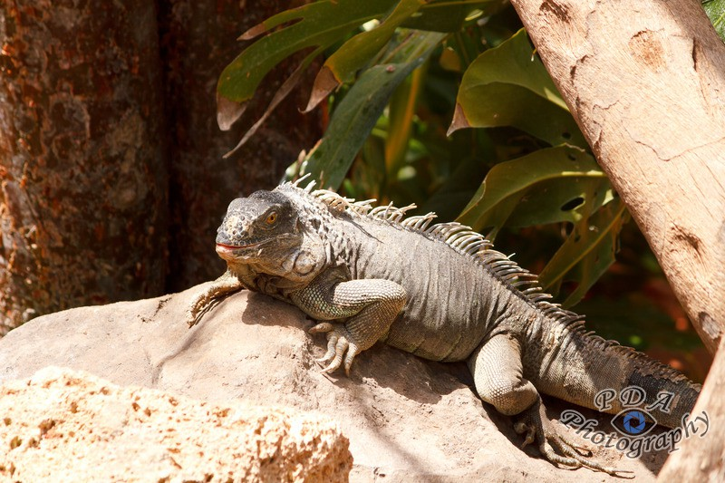 11 Iguana