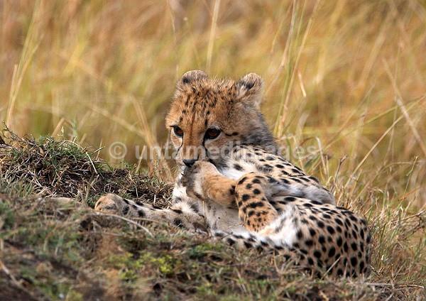 Cheetah cub - Kenya