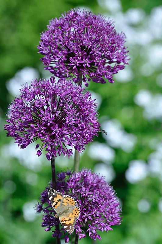 Allium and friend - FLOWERS