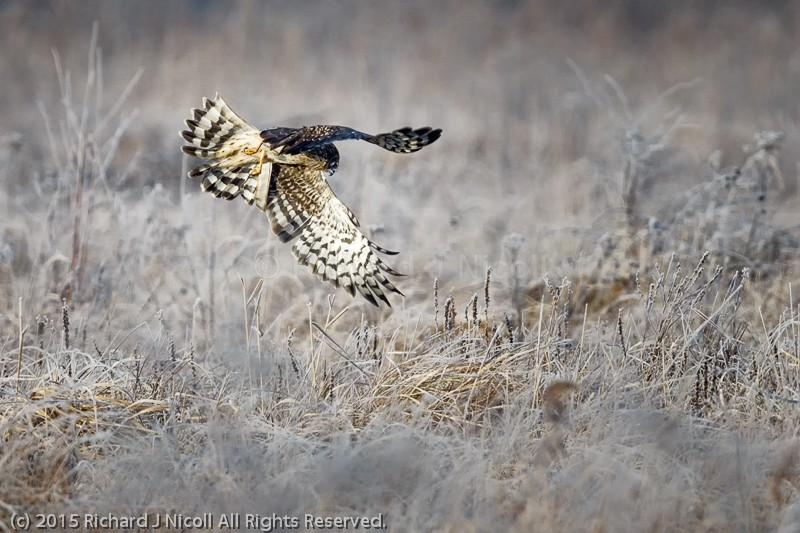 Hen Harrier (Circus cyaneus) hunting - Hen Harrier (Circus cyaneus)