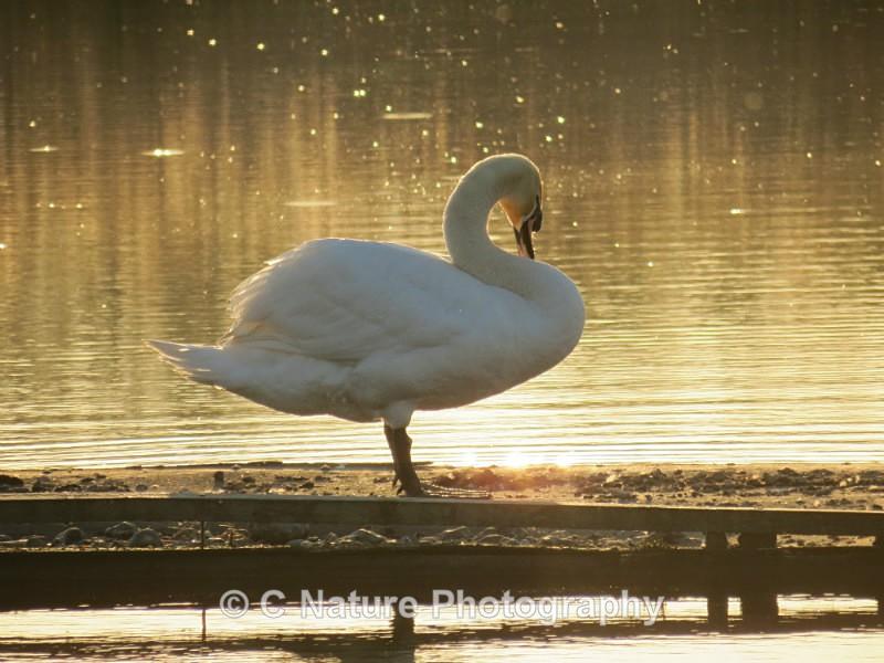 Sunset Swan - Birds