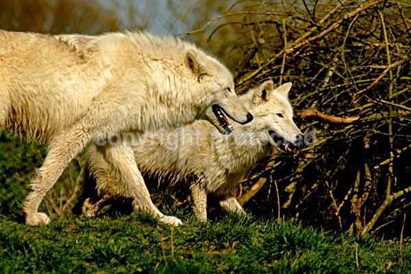 White Wolves - Mr. Hudson & Saska (Colchester Zoo) - Smaller Cats & Other Wildlife - Wolves
