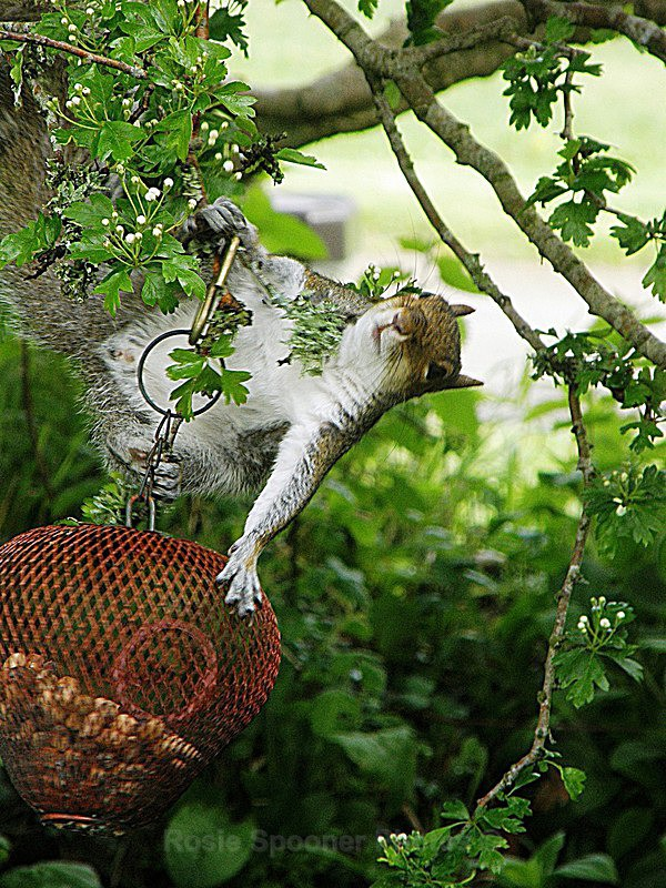 New Card Soon - Acrobatic squirrel with a smile for the camera - Greetings Cards Wildlife