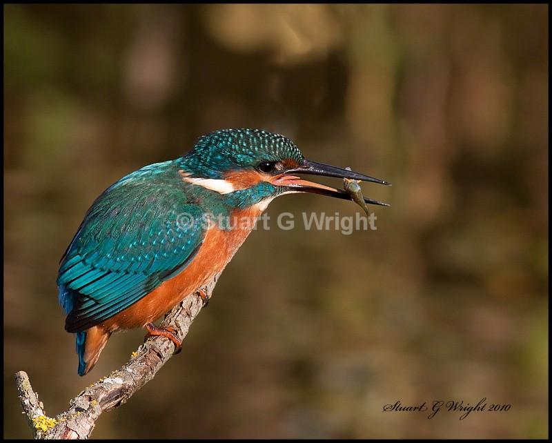7 - Kingfisher