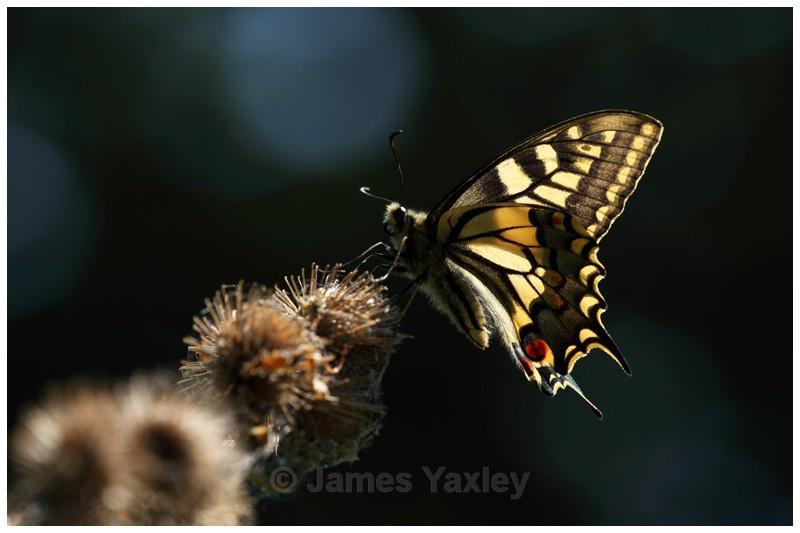 Swallowtail and Burdock - Butterflies, Dragonflies and Demoiselles