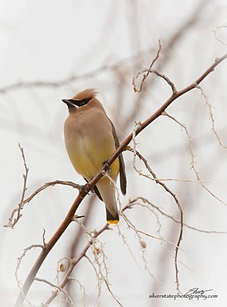 Cedar Waxwing IMG_0370-a-web - Nevada Birds