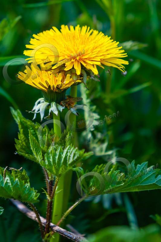 dandelion Taraxacum-048 - Plants and trees