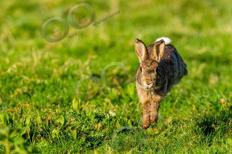 wild rabbit Oryctolagus cuniculus-8880 - UK Wildlife