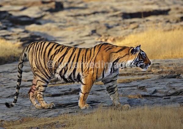 Royal bengal tiger - 7 - India