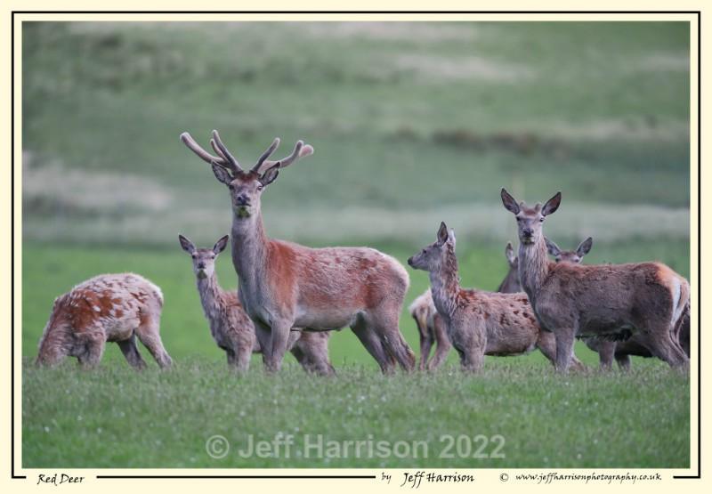 'Red Deer' - Image Red D 010 - Red Deer
