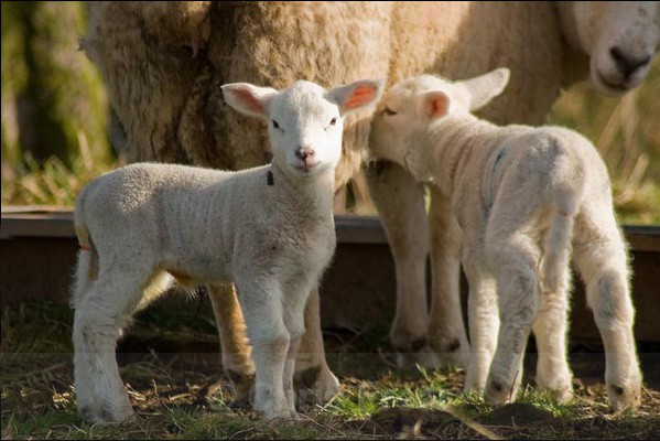First Lambs of 2008 - Animals/ Wildlife