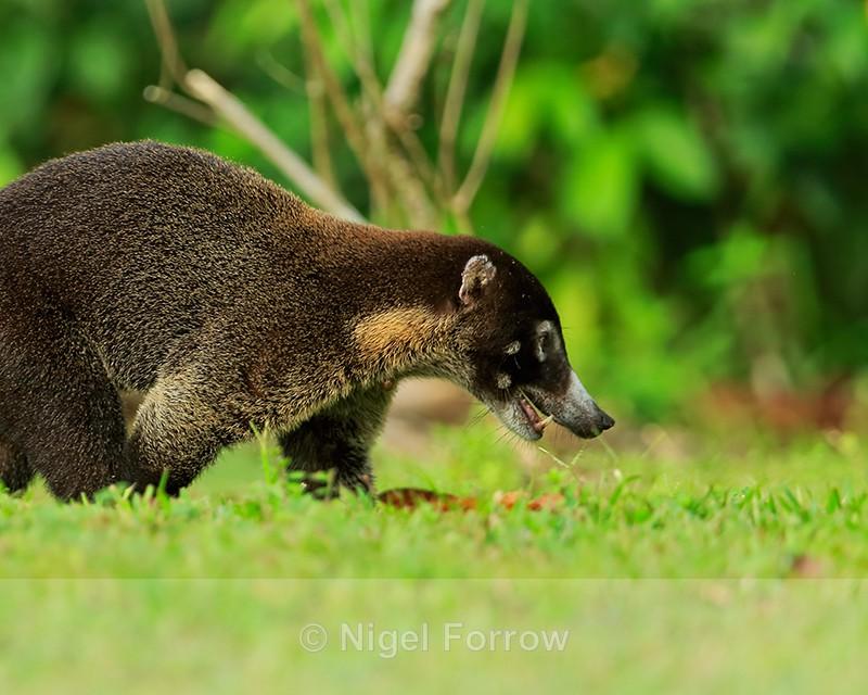 White-nosed Coati close-up, Osa Peninsula, Costa Rica - Coati