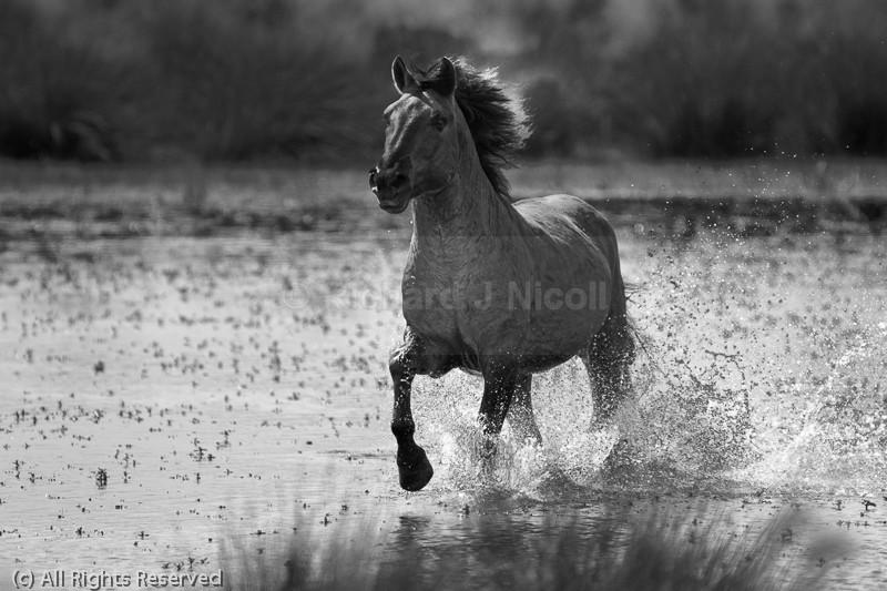 Konik Stallion - Konik Pony (Equus caballus)
