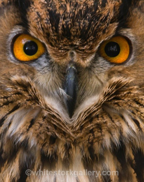 Grand Brown Owl - Wildlife and Animals