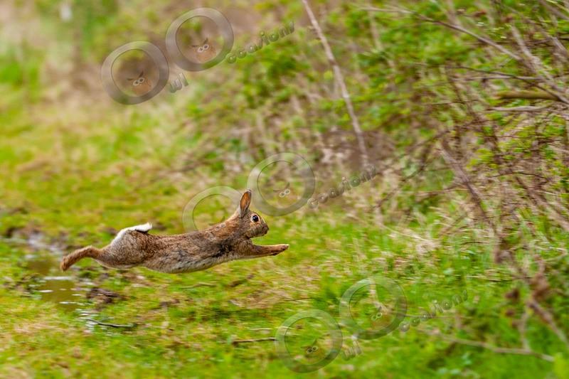 wild rabbit Oryctolagus cuniculus-4038 - UK Wildlife