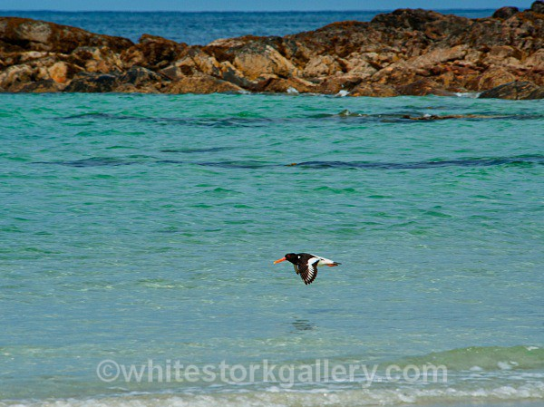 Oyster Catcher - Scottish Highlands