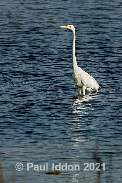 egret09 - Nature - Birds and Wildlife
