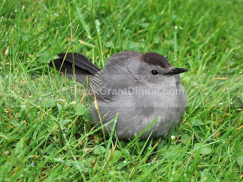 Gray Catbird Fledgling - Birds of Atlantic Canada