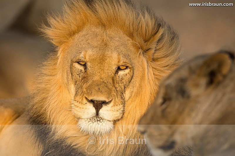 Hairdresser - Lion