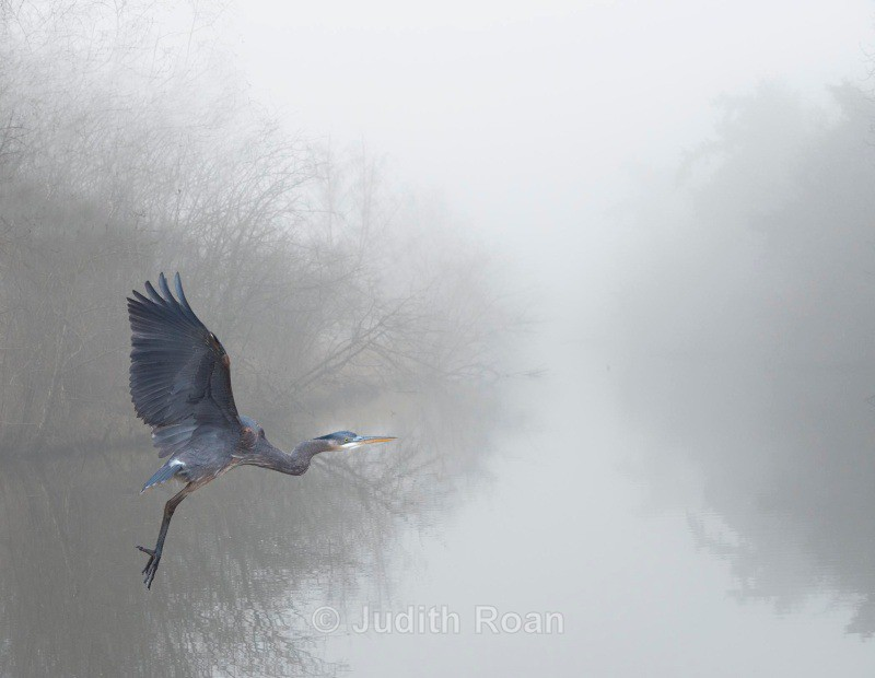 Great Blue Heron in fog - Backyard Birds of the Pacific Northwest