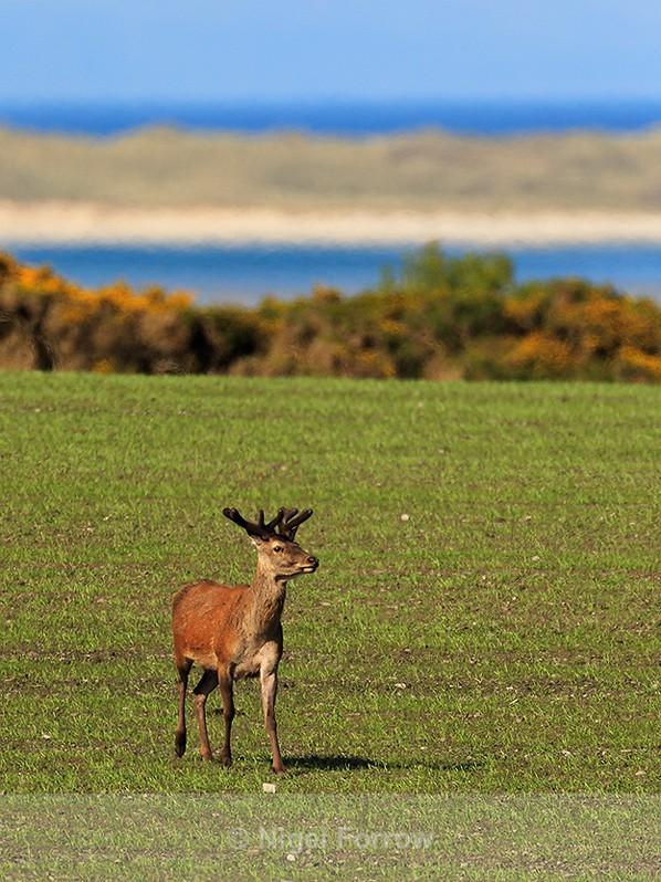 Red Deer in a field on Islay - Deer