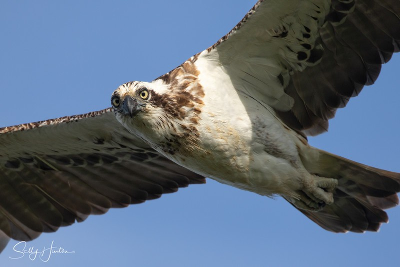 Osprey in Flight 10 - Osprey (For Sale)