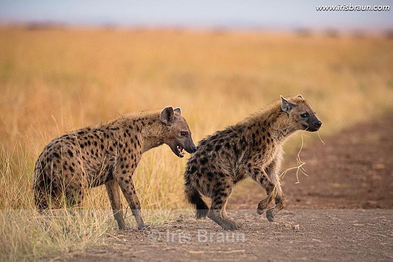 I won - Hyena