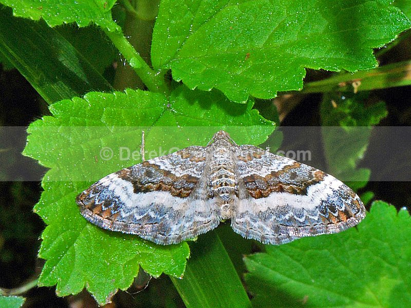 White-banded Toothed Carpet Moth - Butterflies & Moths of Atlantic Canada