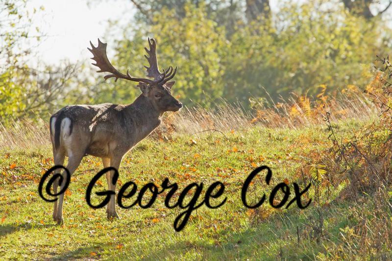 Fallow Deer - Calke Abbey Park - Mammals