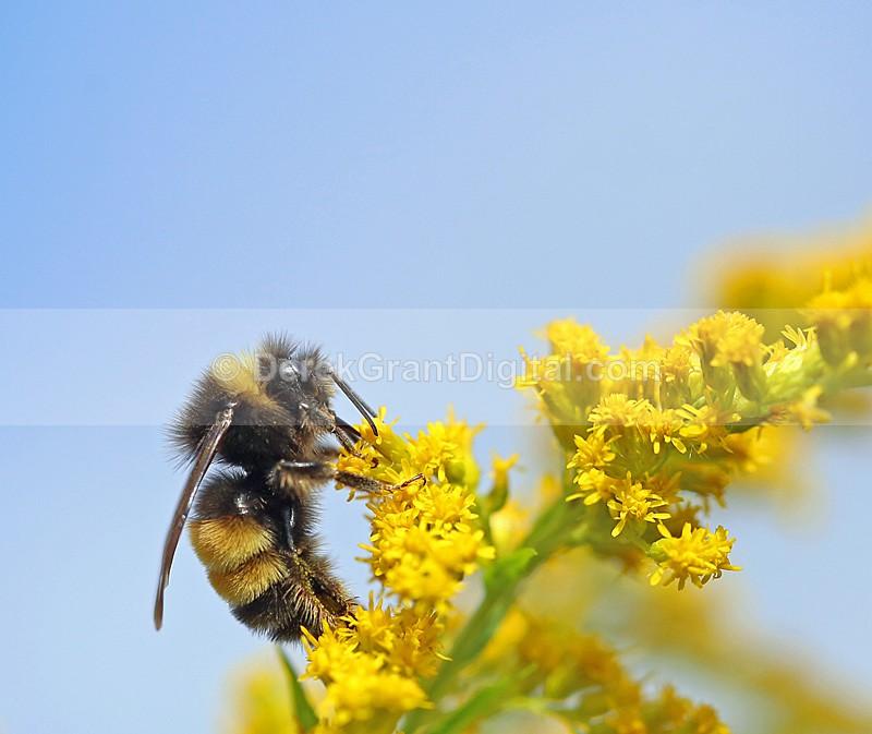 Bombus terricola - Bees, Beetles, Bugs