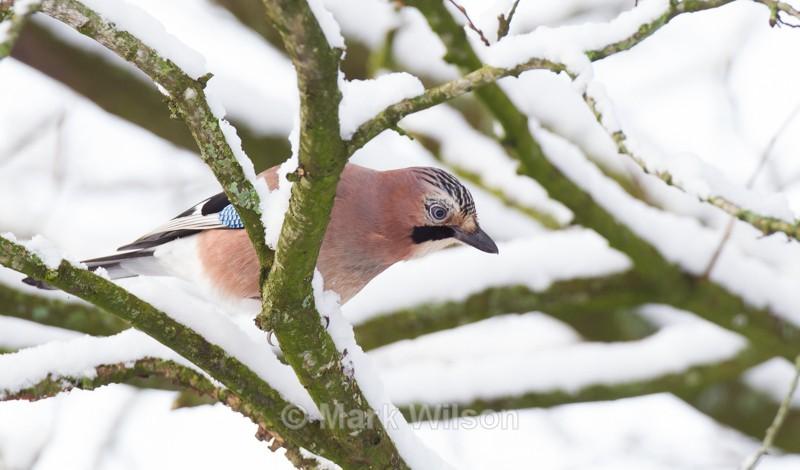 Jay - Garden birds