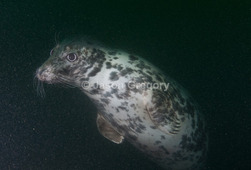 Grey Seal - Halichoerus grypus - Grey Seals