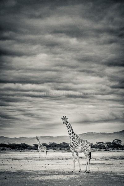 Giraffe, Soysambu, Kenya