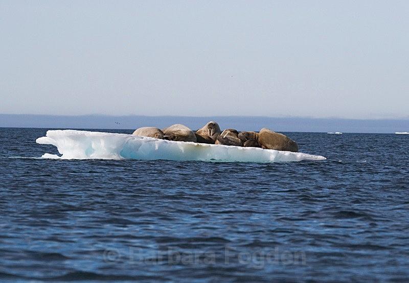 Walrus 9239 - Wildlife