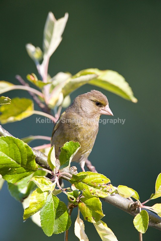 Greenfinch.YR6M4856 - Greenfinch