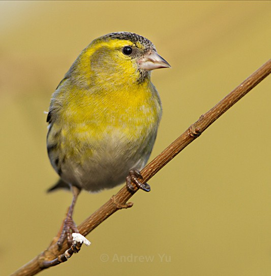 Siskin - Wildlife and Nature Photography